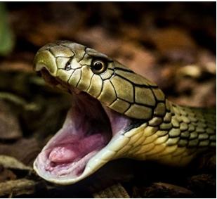 A python